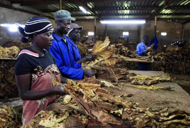 Farm workers sort tobacco leaves at a farm ahead of the tobacco selling season in Harare March 3, 2015. REUTERS/Philimon Bulawayo