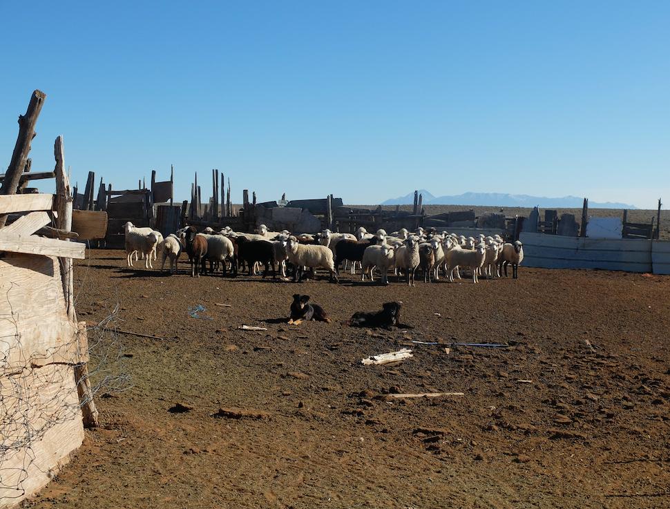 A navajo flock and its guardians.