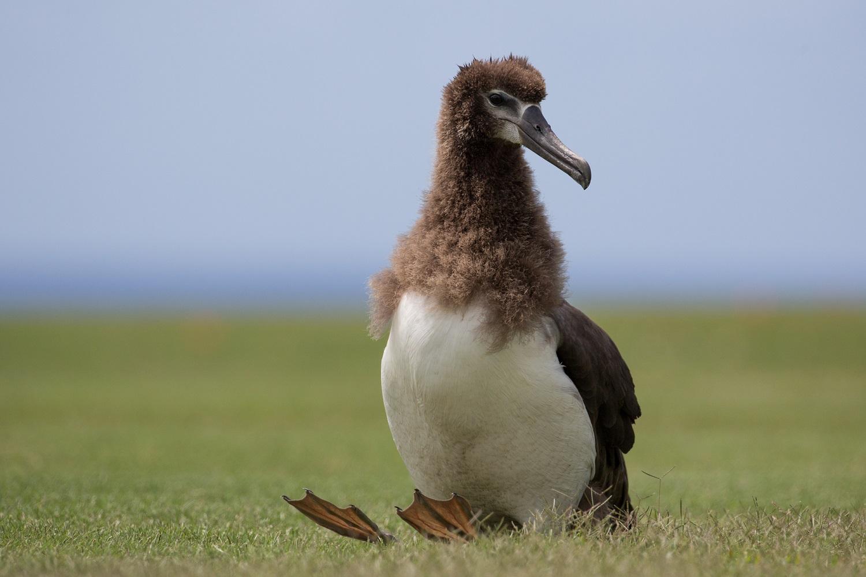 Laysan albatross Shutterstock/Tory Kallman