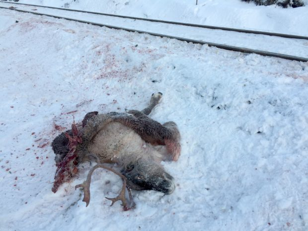 This video grab taken on November 25, 2017 shows a dead reindeer laying next to the railway near Mosjoen in northern Norway.