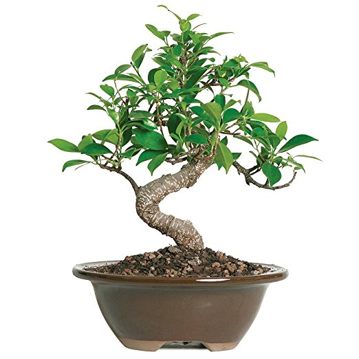 Normally $34, this #1 bestselling bonsai is 27 percent off today (Photo via Amazon)