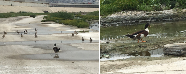 Mutant duck in sewage river along the U.S. southern border. (Morgan Murtaugh)