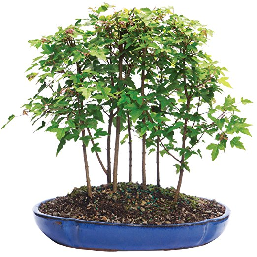 Normally $80, this outdoor bonsai is 30 percent off today (Photo via Amazon)
