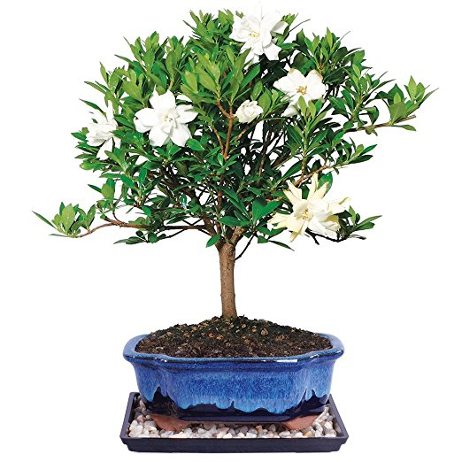 Normally $62, this outdoor bonsai tree is 44 percent off today (Photo via Amazon)
