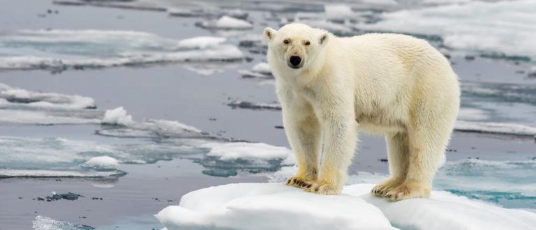 Polar Bear on melting ice floating in Arctic Sea. (Shutterstock)