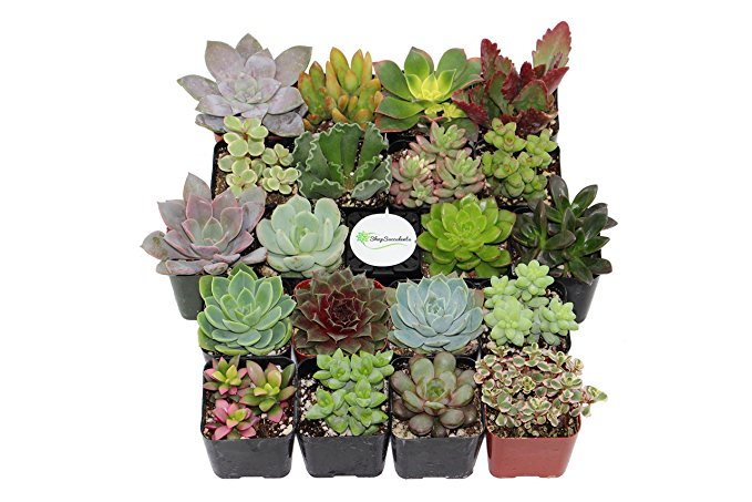 Normally $40, this collection of 20 succulents is 30 percent off today (Photo via Amazon)